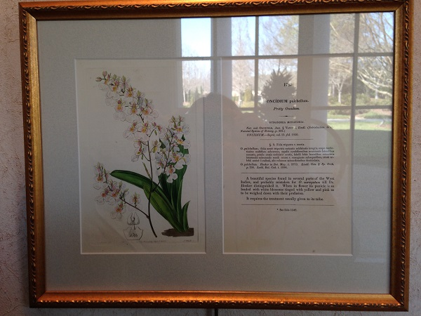 Framed Lithograph from The Botanical Register